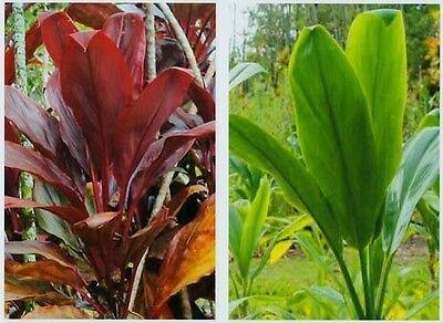 HAWAIIAN TI PLANT LOGS 1 RED 1 GREEN ~ GROW HAWAII