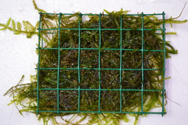 Java Moos Vesicularia dubyana auf Gitter