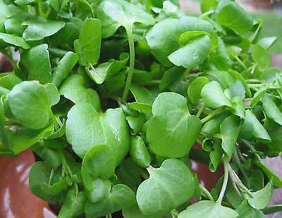 HERB  WATERCRESS NASTURTIUM OFFICINALE  1.5 GRAM ~ APPROX 6900 SEEDS