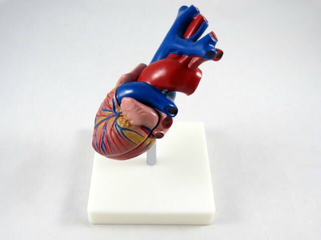 Professional Educational Life Size Heart Anatomy Medical Model IT-046 ANGELUS