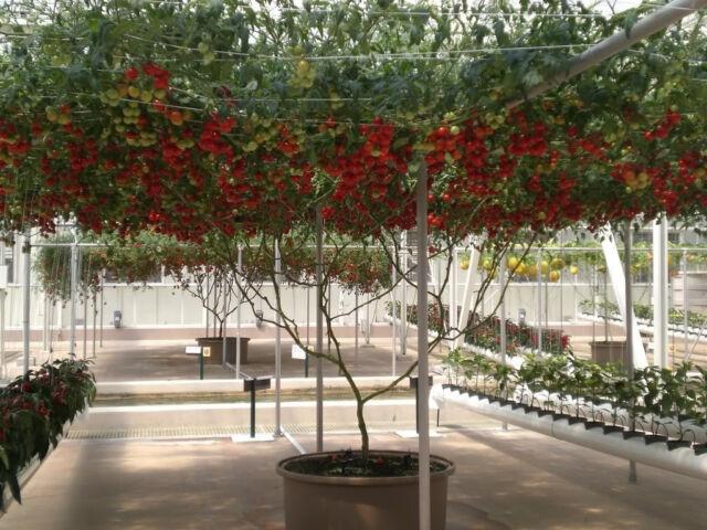 40 ITALIAN TREE TOMATO 'Trip L Crop' Seeds *Comb S/H