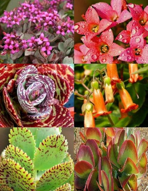 KALANCHOE variety mix @@ rare plant exotic succulent seed flowering pot 20 seeds