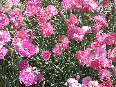 PERENNIAL FLOWER DIANTHUS ROMANCE MIXTURE  500 SEEDS PLUMARIUS