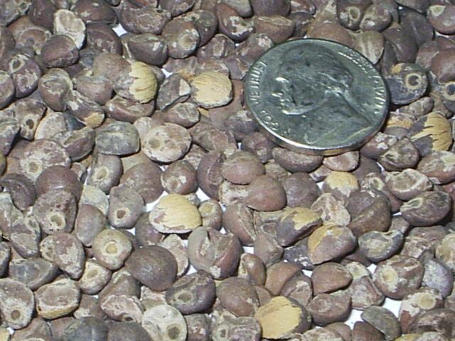 1 OZ (28 Grams)  Hawaiian Baby Woodrose Seeds (Argyreia nervosa) HBWR BULK