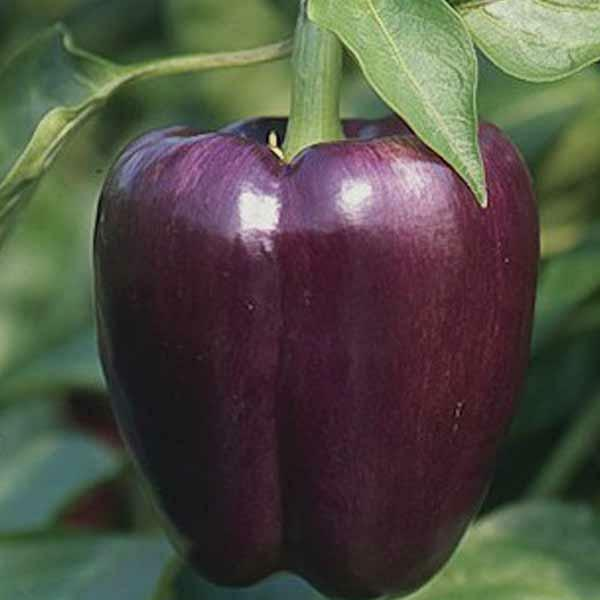 ORGANIC VEGETABLE SWEET PEPPER PURPLE BEAUTY 50 FINEST SEEDS