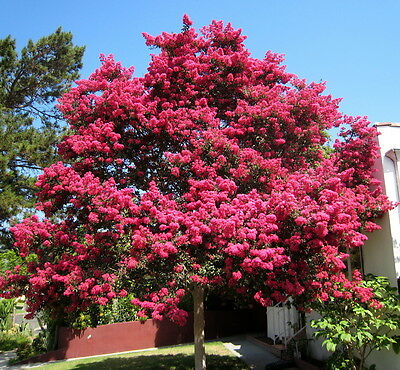 Crape Myrtle, Lagerstroemia indica, Tree Seeds (Fast, Showy, Fall Color)