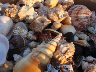 Natural SEA SHELLS Mixed - 1 Lb Bulk Lots - CRAFT QUALITY - NICE OCEAN SHELLS