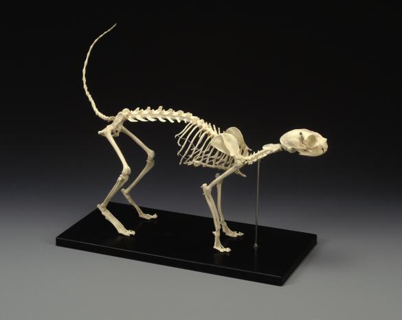 Cat Skeleton  LFA #2020 Halloween Scary *