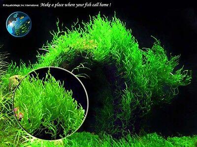 Flame Moss # Live aquarium plant fish tank WS