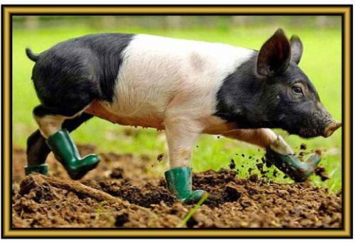 . New Pig Photographs Fridge magnets