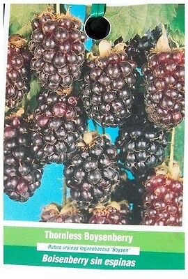 Thornless Boysenberry Live Plant Nutritious Health Plants So Sweet Boysenberries