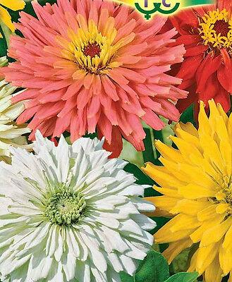 RUSSIAN ZINNIA SEEDS - UNUSUAL CACTUS SHAPE FLOWERS MIX HYBRIDS