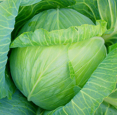 Vegetable Cabbage Glory of Enkhuizen Appx 100 seeds