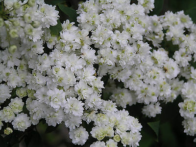 8 weeping double white May Bush flower garden plant hardy shrub hedge border