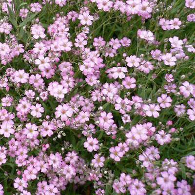 FLOWER GYPSOPHILA ELEGANS MIXED 1500 FLOWER SEEDS