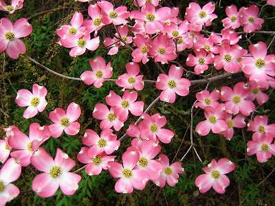 5 Flowering PINK DOGWOOD Cornus TREE Seeds * Comb S/H + Free Gift