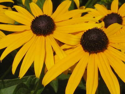 2000 BLACK EYED SUSAN Rudbeckia Hirta Yellow Flower Seeds *Comb S/H + Gift
