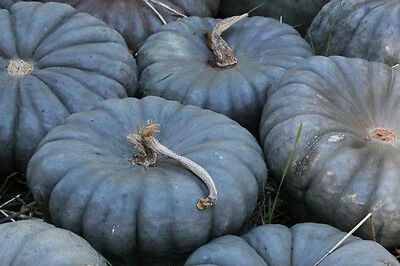 HEIRLOOM WINTER SQUASH VEGETABLE QUEENSLAND BLUE 10 PROFESSIONAL ORGANIC seeds