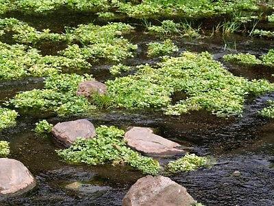 1000 Fine Curled PEPPERCRESS PEPPER GRASS CRESS Seeds