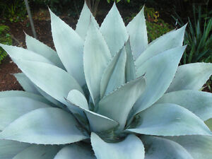 5 Agave Ovatifolia (monterrey) Semi Seeds Korn Samen Prix RéDuctions