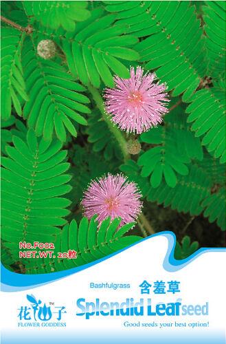 1 Pack 30 Seeds Foliage Mimosa pudica Sensitive F002