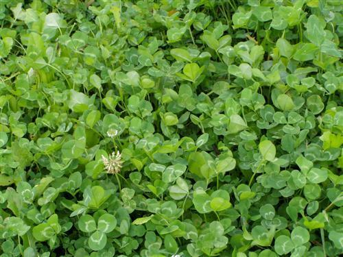 5 Lbs WHITE LADINO CLOVER SEED For Deer Food Plot Horse Goat Chicken Forage