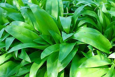 Bärlauch / Waldknoblauch - ca. 100 Samen