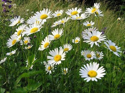 WILD FLOWER OX EYE DAISY 5 GM SEEDS APPROX 15,000 SEEDS LEUCANTHEMUM VULGARE