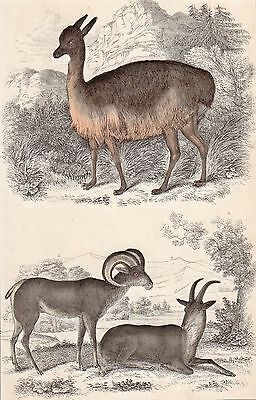 LAMA & MOUNTAIN GOATS 1876 vintage original English hand painted engraving
