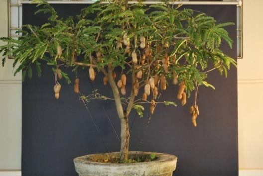 10 Fresh Thai Tamarind Fruit Seeds, TAMARINDUS INDICA, sweet Indian date,makam