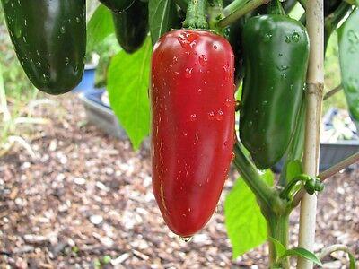 Jalapeno Conchos sehr großer Jalapeno Chili mit geringer Schärfe