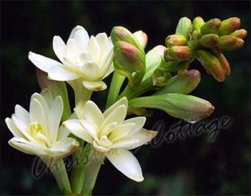 Profumato Polianthes tuberosa LA PERLA summer GIARDINAGGIO Lampadina cormi Bianco Fiore