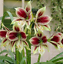 LIMITED STOCK Super big bulb 1 Pcs Amaryllis IJO LUMUT Bulb heppeastrum flower