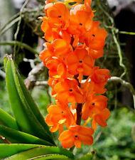 Dendrobium unicumorchid plant
