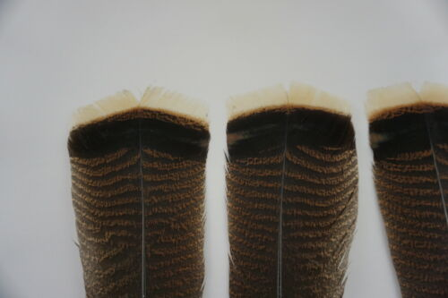 12 #1 ADULT MERRIAM/'S WILD TURKEY TAIL FEATHERS// FLY-TYING