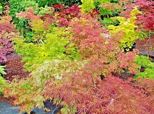 Japanese Maples Acer Palmatum Varieties All Grafted 1litre Pots