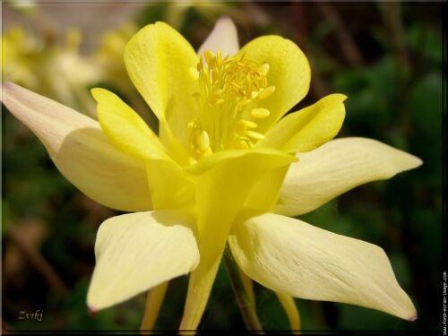 Graines de fleurs Vivaces ANCOLIE ou Aquilegia vulgaris
