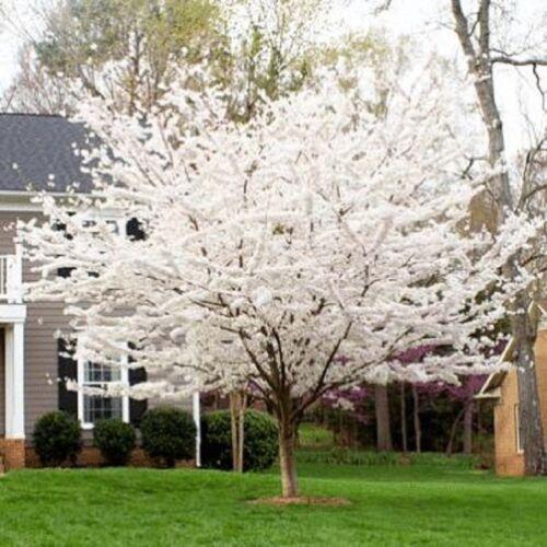 5 Yoshino Cherry Tree Seeds Flowering Japanse Ornimental Garden Pink Fragrant