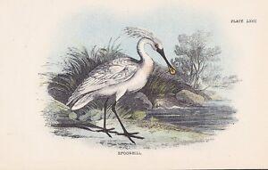 Löffler Platalea leucorodia lithographie 1896 Spoonbill Ornithologie-afficher le titre d`origine PImdmXFR-07192432-528620513