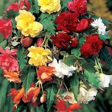 "Pacco x3 Begonia ""PENDULA misto"" WPC PRINS qualità Lampadine / tuberi"