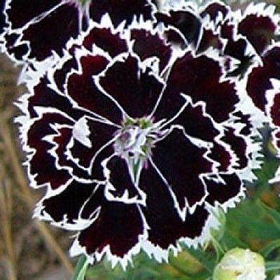 Black Dianthus Seeds, Heddewigii, Black Flowers Seed, Heirloom Flowers, 50ct