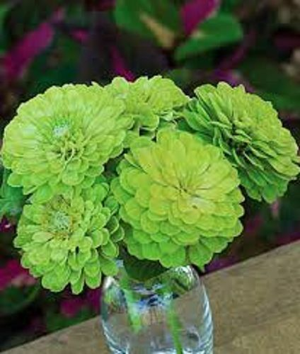 30+ Zinnia Lime Green Envy / Flower Seeds / Long Lasting Annual