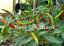 Thai-Hot-Long-Green-Chilli-A-Heavy-Yielding-Chili-Variety-Australian-Grown