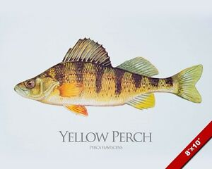 Yellow perch fish painting freshwater fishing art real for Perch fish facts