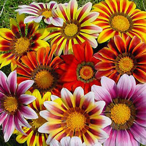 GAZANIA-Sunshine-Mix-110-seeds-Gazania-rigens-LARGE-FLOWER
