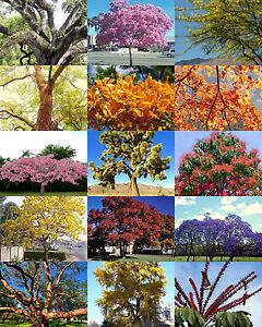 Exotic Trees Mix Rare Flower Plant Desert Fragrant Bonsai Tree Seed 30 Seeds Ebay