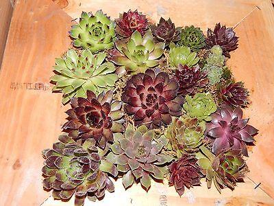 10 Sempervivum (hen and chicks) plants, rock garden, succulents