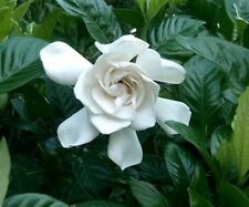 Kaie Perfume Oil Rollon Upscale Type White Flowers Gardenia Tropical Floral