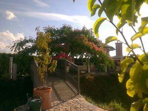 Albizia-julibrissin-Rosea-Seiden-Schlafbaum-90-100cm