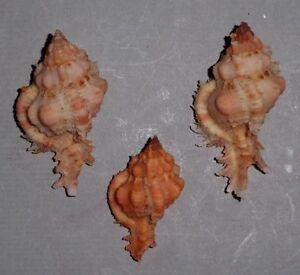 Coquillage-de-collection-Chicomurex-gloriosus-x3